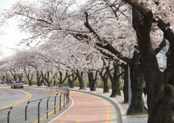 올해도 여의도 벚꽃축제 취소... 추첨 당첨자만 관람